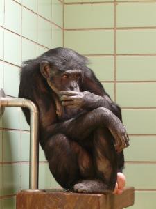 chimpanzee-77077_640.jpg
